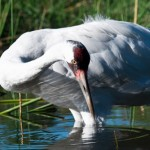 Port Aransas Real Estate Whooping Crane