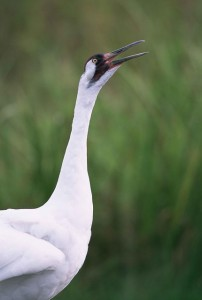 whooping crane standing in a marsh with its head raised